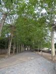 Arbolada de la entrada a los Jardines de Alfabia
